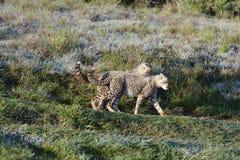 africa geparda południe Zdjęcia Stock