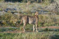 africa geparda południe Zdjęcie Stock
