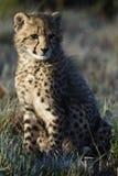 africa geparda południe Zdjęcia Royalty Free