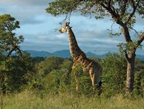 Africa giraffe. Giraffe in the bushveld of South Africa Royalty Free Stock Photos