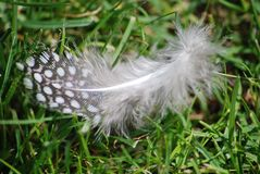 Africa Guinea Fowl Feather. Guinea Fowl feather from the African Guinea Fowl Stock Photos
