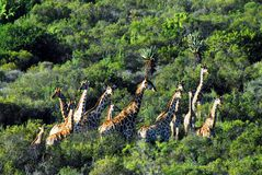 Africa- A Herd of Many Giraffes Running Through the Bush stock images
