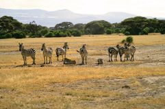 Africa, Zoology, Zebra. Africa, herd of Zebras in Amboseli National Park Royalty Free Stock Images
