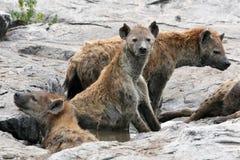 africa hieny serengeti Fotografia Stock