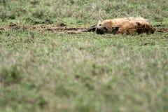 africa hyenaserengeti Arkivfoton