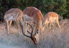 Africa Impala. An Impala male with two females in the last golden hours before sunset: Photographed in the wild in South Africa Stock Photography