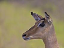 africa impala południe obraz royalty free