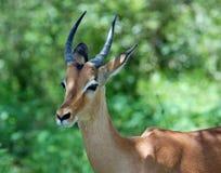 africa impala przyroda Fotografia Stock