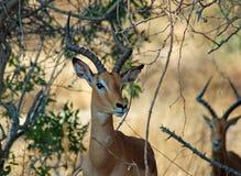 africa impala przyroda Zdjęcie Stock