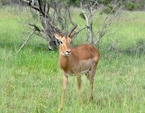 africa impala przyroda Zdjęcie Royalty Free