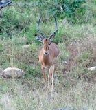 africa impala przyroda Obraz Stock