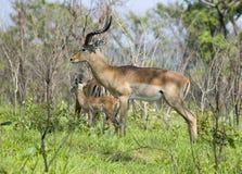 africa impala przyroda Obrazy Stock