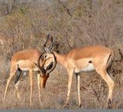 africa impala przyroda Zdjęcia Stock