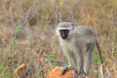 africa jako cercopithecidae chlorocebus rodzina znać małpi rodzimy stary pygerythrus po prostu czasem vervet który świat obrazy stock