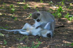 africa jako cercopithecidae chlorocebus rodzina znać małpi rodzimy stary pygerythrus po prostu czasem vervet który świat obraz stock