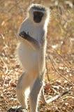 africa jako cercopithecidae chlorocebus rodzina znać małpi rodzimy stary pygerythrus po prostu czasem vervet który świat fotografia stock