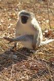 africa jako cercopithecidae chlorocebus rodzina znać małpi rodzimy stary pygerythrus po prostu czasem vervet który świat fotografia royalty free