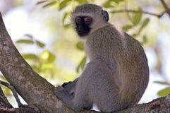 africa jako cercopithecidae chlorocebus rodzina znać małpi rodzimy stary pygerythrus po prostu czasem vervet który świat zdjęcie royalty free