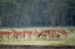 Impala. Africa, kenya, Lake Nakuru reserve impala in the rain stock photography