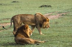 Africa, Kenya, Masai Mara, two lions, companions, one lying down, other standing alongside watching. Africa, Kenya, two companion lions on savanna with one lying royalty free stock photography