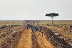 Africa Kenya, zebra, Masai Mara animal, road, tree, national park , crossing , Royalty Free Stock Photos