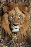 africa konung arkivbild