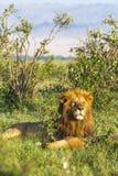 africa konung Stående av lejonet kenya Arkivfoto