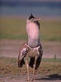 Africa-Kori bustard. Kori bustard in breeding plumage. Serengeti,Tanzania Stock Photography