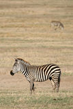 africa krateru ngorongoro Tanzania zebra Fotografia Stock
