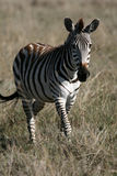 africa krateru ngorongoro Tanzania zebra Zdjęcia Royalty Free
