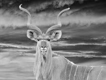 africa kudu Arkivfoto