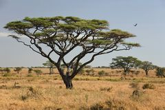 Africa landscape 027 serengeti. Tree royalty free stock photos