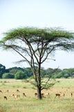 Africa landscape. Serengeti National Park Royalty Free Stock Photos