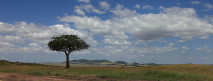 Africa landscape. The African acacia in masai mara national park Stock Image