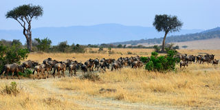 Africa landscape with antelopes gnu Stock Photo