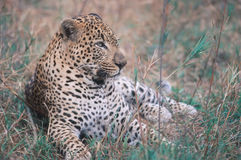 Africa-Leopard. African leopard lying in grasses. South Africa Stock Photo