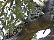 Africa Leopard, Kenya. Leopard, one of the big cats, in Samburu National Park, Kenya, East Africa, camouflaged in a tall tree, as is typical Royalty Free Stock Image