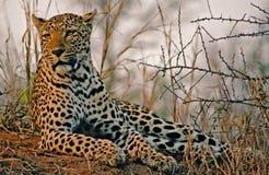 africa leopardsavannah Arkivfoton