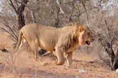 Africa Lion Stock Photos