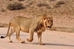 Africa Lion Royalty Free Stock Image