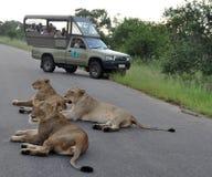 africa lion Arkivfoton