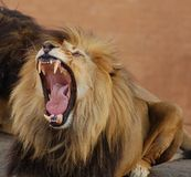 Africa Lion. The jaws of an African Lion (Panthera leo), photgraphed in South Africa Stock Photos
