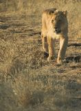Africa Lion (Panthera leo). Young lion at sunset in Zimbabwe, Africa Stock Images