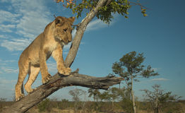 Africa Lion (Panthera leo). Young lion playing in a tree at sunset Royalty Free Stock Photos
