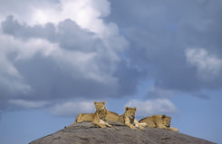 Africa-Lions on a kopje. Young lions on a kopje in the Serengeti, Tanzania Royalty Free Stock Photography