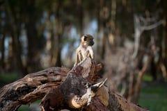 africa little apa Arkivfoton