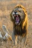 africa lwa męski południowy ziewanie Obraz Royalty Free