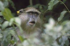 africa małpi samango południe Obraz Stock