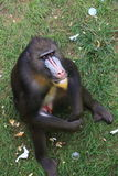 Africa mandrill Royalty Free Stock Image