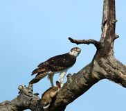 Africa: Martial Eagle. Martial Eagle, the biggest eagle in Africa, with its prey, a cape hare Royalty Free Stock Photos